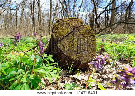 old wooden stump in spring forest