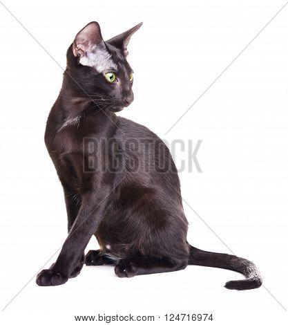 black oriental shorthair cat portrait, isolated on white background