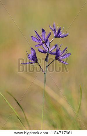 Purple wild flower Camassia Quamash AKA Camas