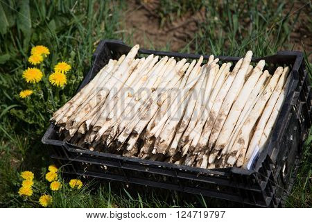 white Asparagus in a box - stand in a meadow