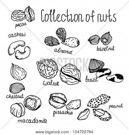 Hand drawn detailed nuts isolated on white background. Macadamia, cashew, almond, Brazil nut, pistachio, hazelnut, walnut, peanut, etc.