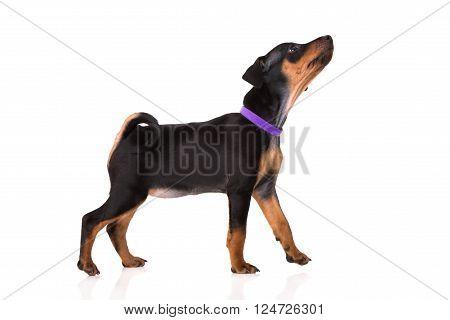adorable black miniature pinscher puppy on white