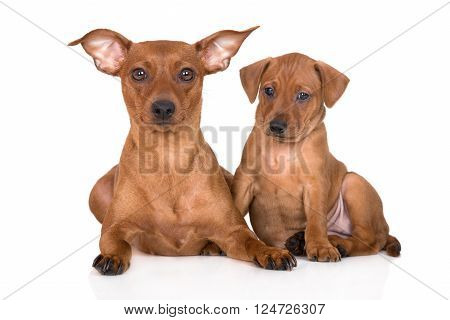 red miniature pinscher dog with a puppy