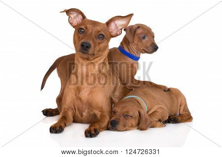 miniature pinscher dog with her puppies on white