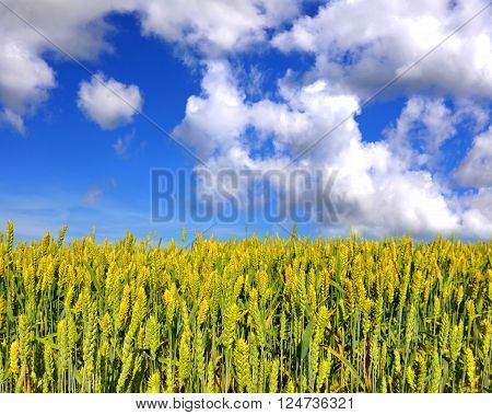 Field of wheat on a background blue sky with clouds
