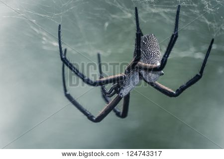 Large White Back Spider Constructing It's Web