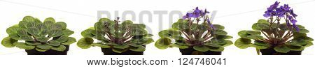 African violet blooming. Time lapse composite.