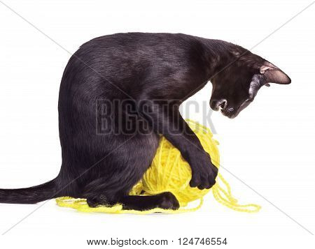 black oriental shorthair cat playing with woolen ball, isolated on white