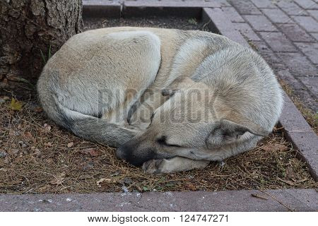 Homeless dog sleeps curled up on the sidewalk. Pets