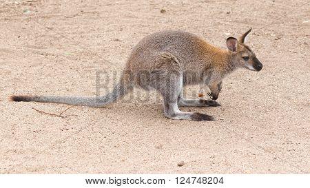 smart funny furry kangaroo with long elastic tail standing on a sandy track Australia