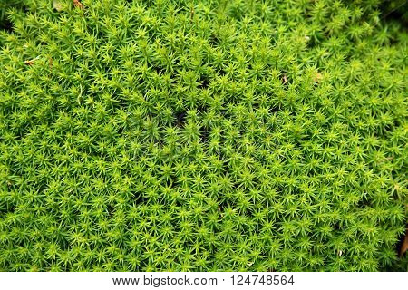 green moss background - polytrichum formosum at the forest floor