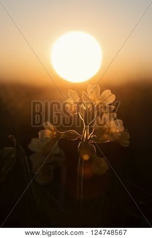 Cowslip Wildflowers With Golden Evening Sun