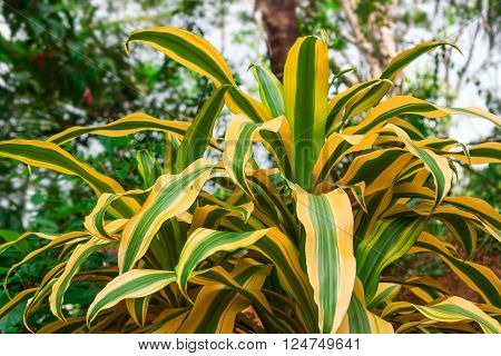 Bright tropical plant with golden striped leaves (Dracaena Reflexa