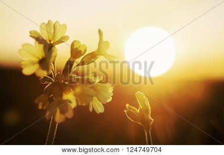 Primula Veris Blossom In Golden Evening Sun
