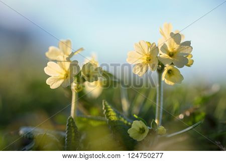 Yellow Cowslip In The Evening Sun