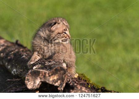 Baby Bobcat (Lynx rufus) on Log Facing Right - captive animal