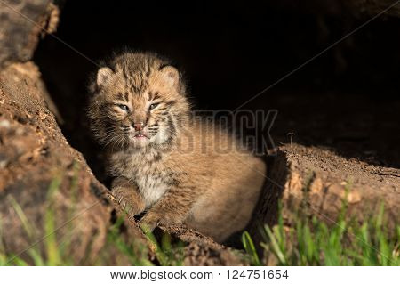 Baby Bobcat Kitten (Lynx rufus) Looks Straight Out from Inside Log - captive animal
