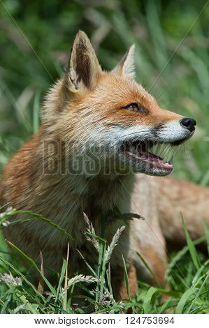 Red Fox (Vulpes Vulpes) in long green grass