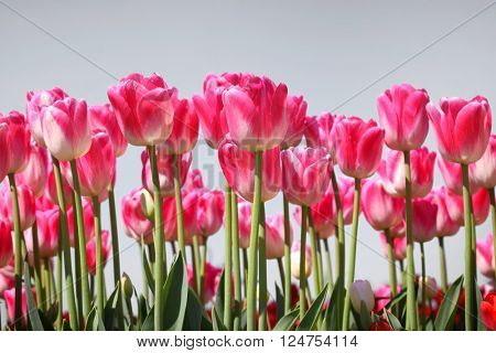 Pink Tulip flowers against grey sky background