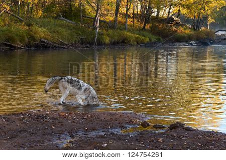 Grey Wolf (Canis lupus) Sticks Head in Water - captive animal
