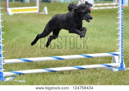 LAKE ELMO, MN - JUNE 8 2016: Black Miniature Poodle Running Leaping Over a Jump at an Agility Trial