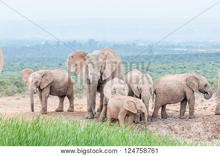 A mud covered African elephant family Loxodonta africana on a gloomy day