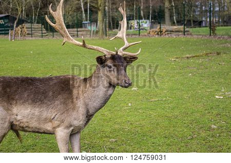 Beautiful Deer in a forest. Germany. Hessen. ** Note: Soft Focus at 100%, best at smaller sizes
