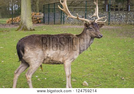 Beautiful Deer in a forest. Germany. Hessen.