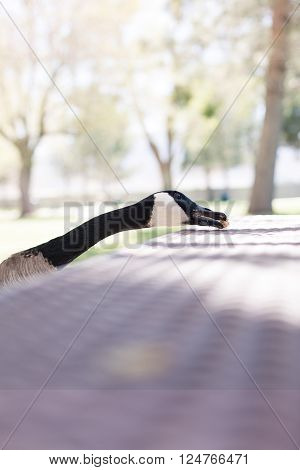 A goose is eating a piece of bread.