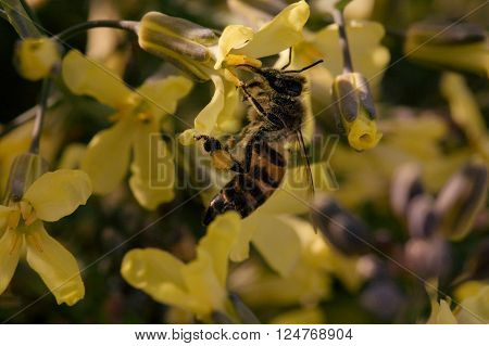 A bee is busy at working gathering nectar.