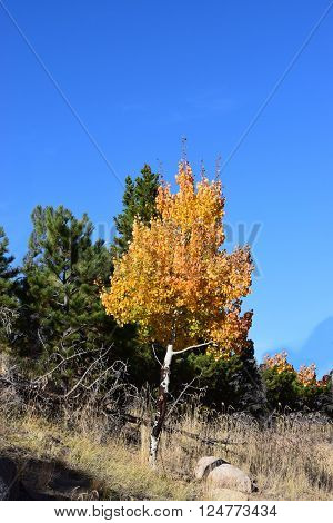 orange and yellow aspen against a blue sky