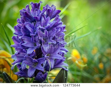 Violet hyacinth in blossom growing in the garden