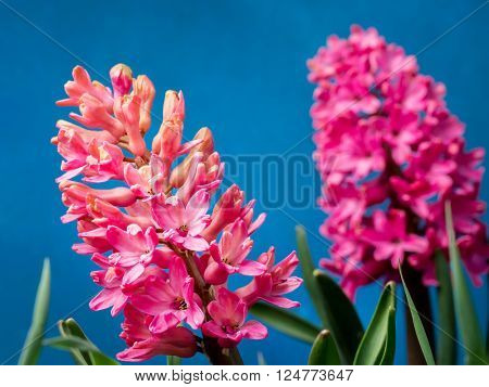 Lilac hyacinth in blossom over blue sky