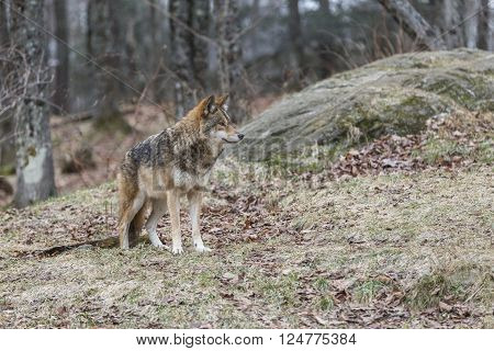 A lone coyote in a wooded area