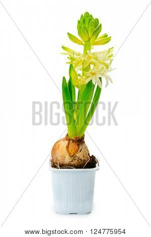 Small hyacinth in pot isolated on white background
