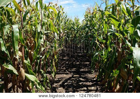 Between rows of corn in a cornfield in Plainfield, Illinois during September.