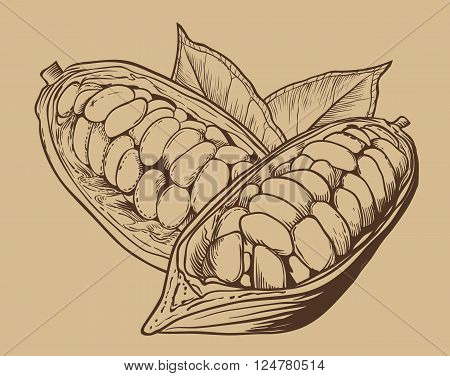 Cocoa vector isolated on brown background. Cocoa beans. Engraved vector illustration of leaves and nuts of cocoa. Cocoa in vintage style.