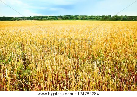 Field of ripe golden wheat , close up