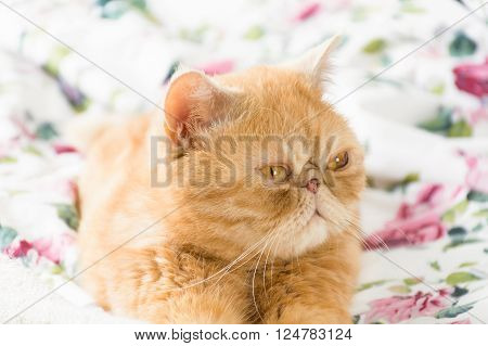 Persian ginger cat with funny face laying on colorful bed