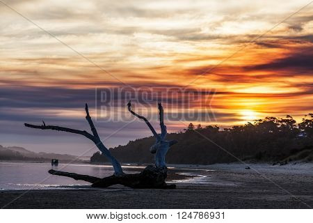 Beautiful piece of driftwood at sunset. Snowy River estuary, Marlo, Victoria, Australia.