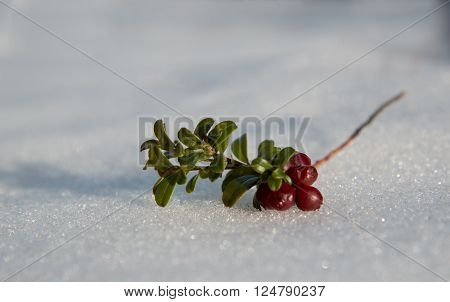 Overwintered red bilberry (or clusterberry) on snow surface. Close-up.