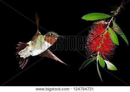 Ruby-throated hummingbird feeding from beautiful tropical flower