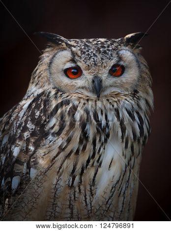 Eurasian eagle owl portrait on a dark background