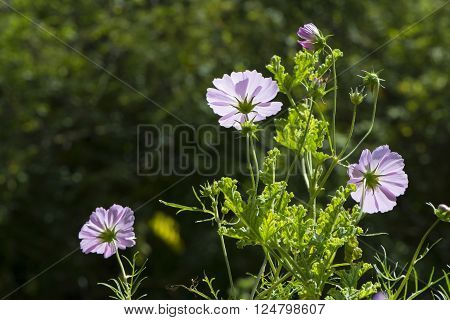 A group of pink Cosmos Bipinnatus commonly called Garden Cosmos and Mexican Aster. Situated in the garden bed with very shallow focus.