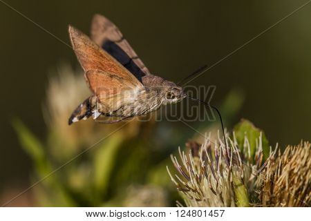 A hummingbird hawkmoth suckles on a flower