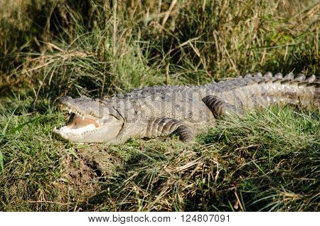 throughout the tropics in africaasia the americas and australia order Crocodilia which includes Tomistoma the alligators and caimans the gharials and all other living and fossil Crocodylomor