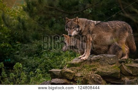 Pair of european wolves standing on a rock