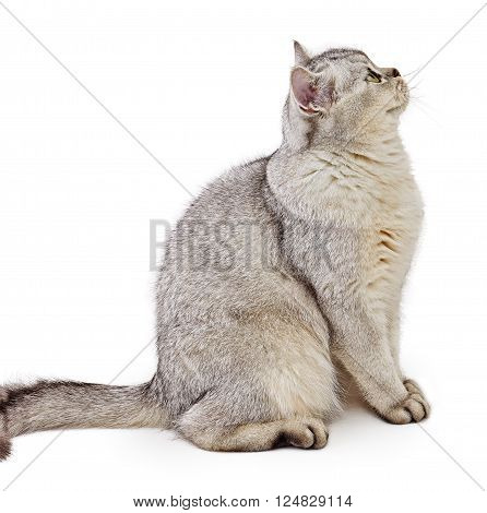 Gray British Shorthair. Cat, 8 months old, sitting side view, isolated on white background.