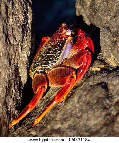 Large red crab hidden among the stones