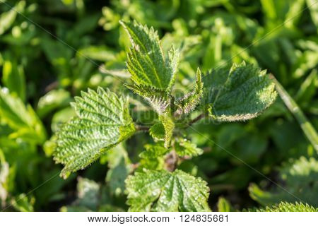 Young green nettle in forest in the morning ** Note: Visible grain at 100%, best at smaller sizes